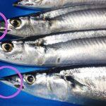 コストコで購入した『生さんま』(北海道)の鮮度や、価格、美味しさは?