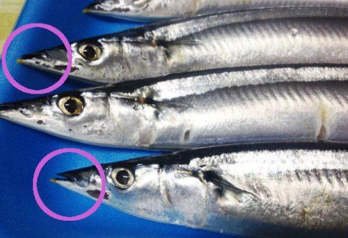 新鮮な秋刀魚の見分け方は?